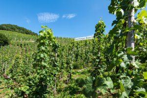 bekannte Saarburger Weinlage Saarburger Rausch, grüne Weinberge