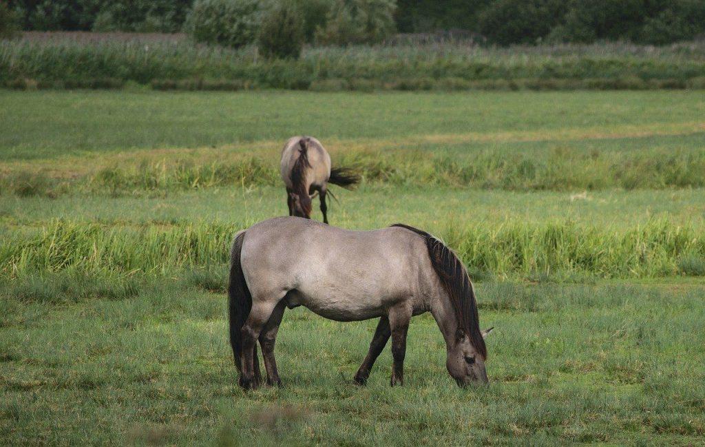 Konik Pferde am Truppenübungsplatz